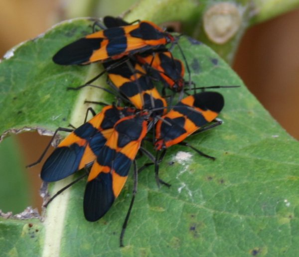 Milkweed Bugs - Warren County, NJ - CLICK TO ENLARGE